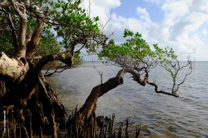 Mangroves, Photo by Uwe Johannsen, WWF